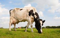 Vaca holandesa Fotos de archivo libres de regalías