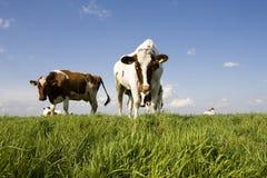 Vaca holandesa Fotografía de archivo libre de regalías