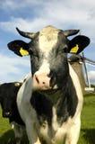 Vaca holandesa típica Fotografía de archivo