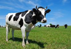 Vaca horned nova na pastagem Imagens de Stock Royalty Free