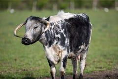 Vaca idosa Fotografia de Stock Royalty Free