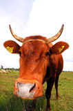 Vaca III foto de archivo