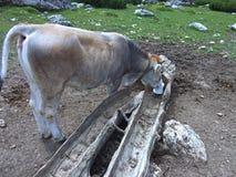 A vaca independente que come o sal dolomiten a montanha Itália Fotos de Stock Royalty Free