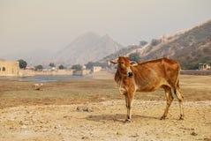 Vaca india cerca de Amber Fort Foto de archivo libre de regalías