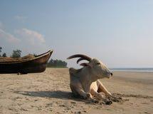 Vaca indiana. Imagem de Stock