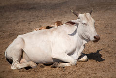 Vaca indiana santamente na areia Fotografia de Stock