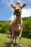 Vaca Inquiring Imágenes de archivo libres de regalías