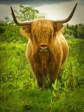 Vaca inquisitiva de la montaña Imágenes de archivo libres de regalías