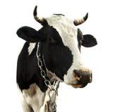 Vaca isolada Imagens de Stock Royalty Free