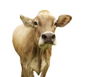 Vaca isolada no branco Fotos de Stock Royalty Free