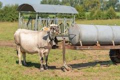 Vaca isstanding en un pasto y una mirada imagen de archivo