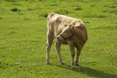 Vaca italiana Fotos de archivo libres de regalías