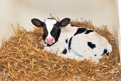 Vaca joven Fotos de archivo
