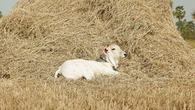 Vaca joven almacen de video