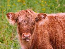 Vaca joven de la montaña que mira la cámara fotografía de archivo