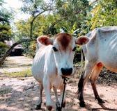 Vaca joven del color blanco con su madre Foto de archivo libre de regalías