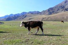 Vaca joven en un pasto de la montaña fotos de archivo libres de regalías