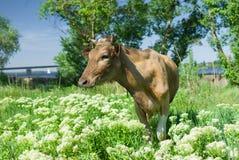 Vaca joven que espera a la lechera en un pasto de la primavera Imagenes de archivo