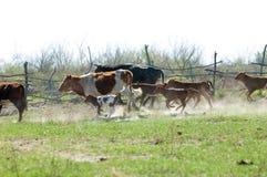a vaca, kine, melhora, melhora, autoritário, puro foto de stock royalty free