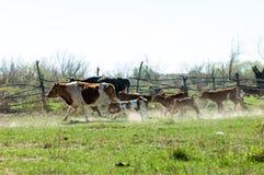 a vaca, kine, melhora, melhora, autoritário, puro foto de stock
