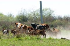 a vaca, kine, melhora, melhora, autoritário, puro imagens de stock royalty free