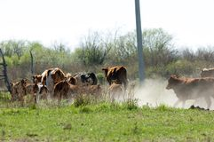 a vaca, kine, melhora, melhora, autoritário, puro imagem de stock