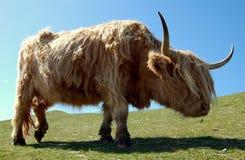 Vaca lanuda de la montaña Imágenes de archivo libres de regalías