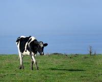 Vaca lechera Fotografía de archivo libre de regalías
