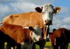 Vaca lechera Fotografía de archivo