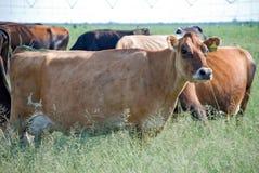 Vaca lechera Imágenes de archivo libres de regalías