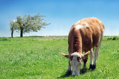 Vaca lechera Imagenes de archivo