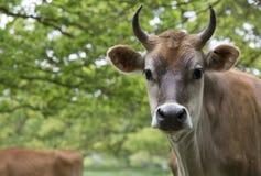 Vaca lechera en campo Foto de archivo