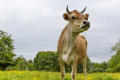 Vaca lechera en campo Fotos de archivo
