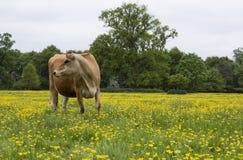 Vaca lechera en campo Fotos de archivo libres de regalías
