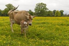 Vaca lechera en el campo de ranúnculos Imagen de archivo