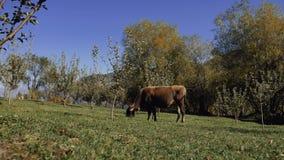 Vaca lechera que come la hierba verde fresca almacen de video
