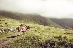 Vaca lechera que mira en campo verde Animal del campo Paisaje rural Cultivo de concepto Nubes que descienden sobre el prado georg Fotos de archivo libres de regalías