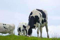Vaca lechera que pasta un prado Imagen de archivo libre de regalías