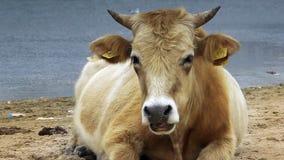 Vaca lechera (tauro del Bos) que come la hierba cerca del lago metrajes