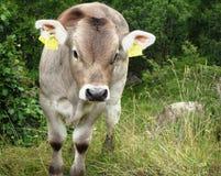 Vaca linda del bebé que parece enojada Fotos de archivo libres de regalías