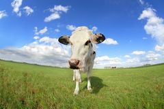 Vaca linda en cierre del pasto para arriba vía granangular Fotografía de archivo