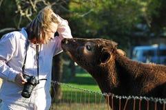 A vaca loving afetuosa nova da vitela obtém próxima e pessoal com o fotógrafo do animal de estimação da mulher Imagens de Stock Royalty Free
