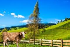 Vaca lustrosa que pasta na grama Fotos de Stock