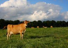 Vaca madura de Jersey en campo del kikuyu Imágenes de archivo libres de regalías