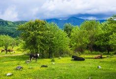 A vaca manchada pasta no prado verde fotografia de stock royalty free