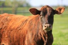 vaca marrón Fotografía de archivo
