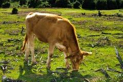 vaca marrón Fotos de archivo