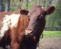 vaca marrón foto de archivo libre de regalías