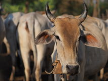 vaca marrón Fotos de archivo libres de regalías