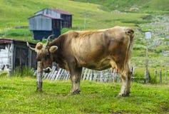 vaca marrón Imagen de archivo libre de regalías
